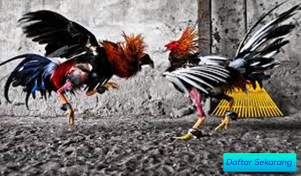 Sabung Ayam Terpercaya 2020 Inilah Cara Mudah Main